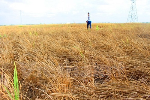 The recent historic drought in the Mekong Delta region seriously affect agricultural production here (Photo: VNA)