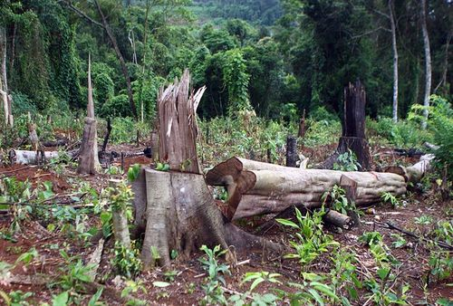 Forest in ??k Nông Province's ??k Song District being chopped down to grow pepper plants (Photo: D??ng Giang/VNS)